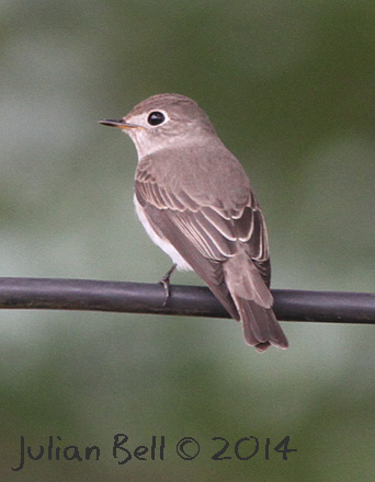 Asian Brown Flycatcher, Luang Prabang, Laos, November 2014