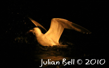 Night time shot of Audoin's Gull, Gibraltar