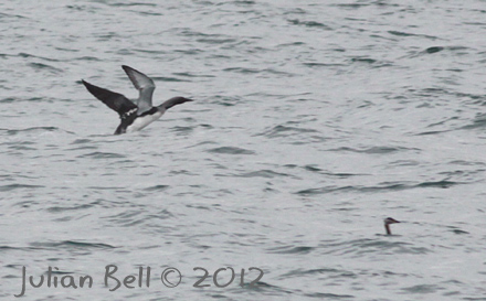 Black-throated Diver taking off beside a Red-necked Grebe