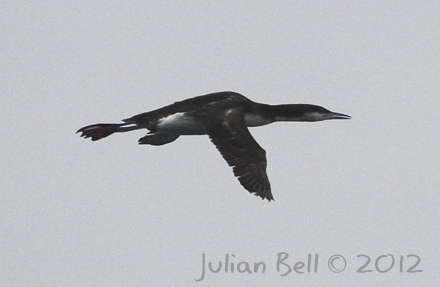 Black-throated Diver in flight