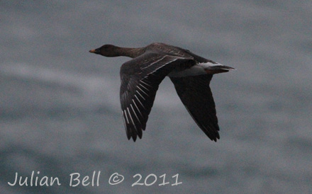 Bean Goose, North Sea