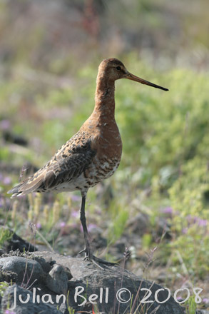 Black-tailed Godwit (islandica)