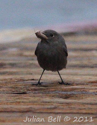 Offshore Black Redstart with moth