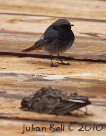 Male Black Redstart