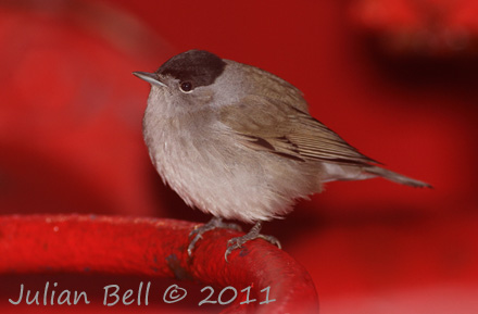 Male Blackcap rests onboard