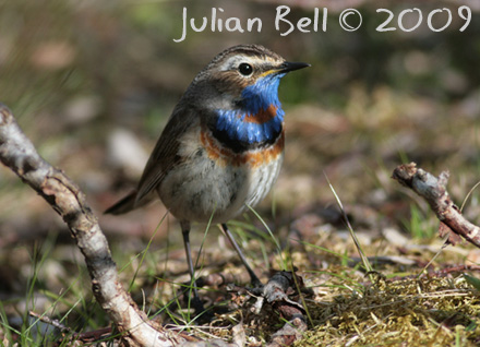 Bluethroat, Hardangervidda