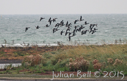 Migrating Brent Geese, Nabben, Falsterbo