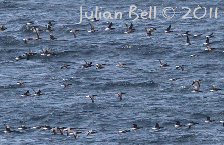 Migrating Pale-bellied Brent Geese