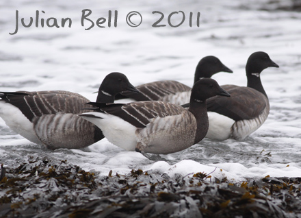 Pale-bellied Brent Geese