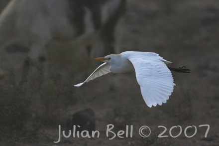 Cattle Egret in goat herd dust storm