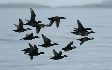 Common Scoter - Svartand - Melanitta nigra