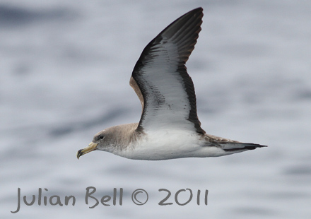 Cory's Shearwater, Maderia