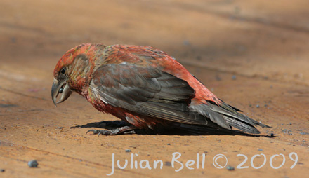 Male Common Crossbill eating welding slag