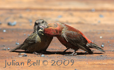 Female feeding male Crossbill
