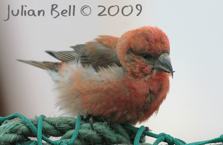 Male Crossbill