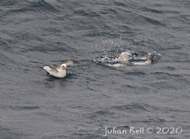 Fulmar diving for food, Aasta Hansteen, April 2020