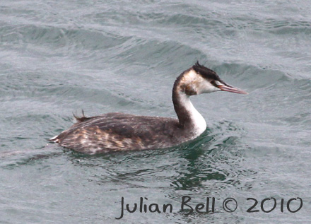 Great Crested Grebe in Samsun harbour