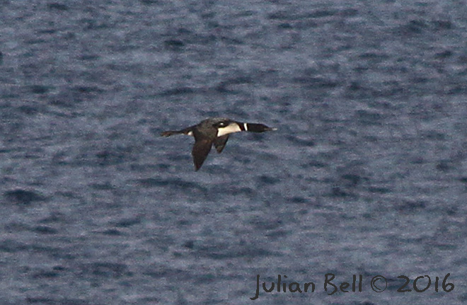 Adult Great Northern Diver in flight