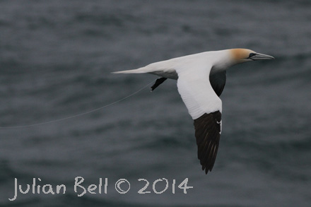 Gannet with fishing line
