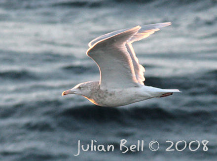 Adult Glaucous Gull, Ormen Lange 12 December 2008