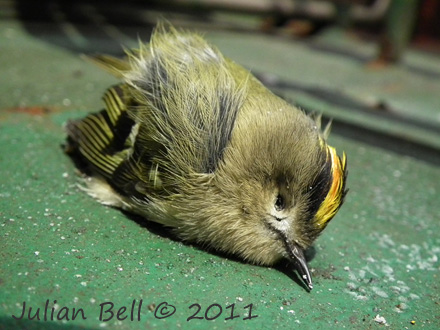 Journey's end for this Goldcrest