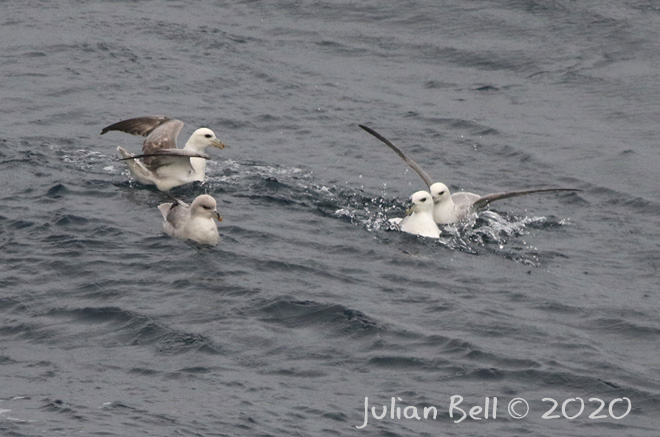 Intermediate type Blue Fulmar, Aasta Hansteen, April 2020