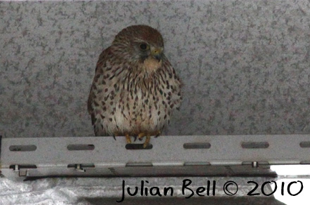 Kestrel sheltering under the helideck