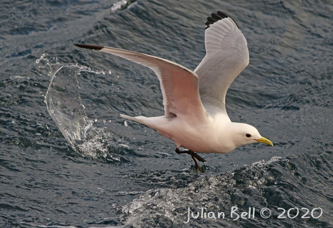 Kittiwake , Åsgard B, Norwegian Sector, April 2020