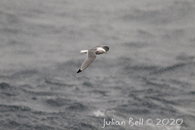 Kittiwake in snowstorm, Åsgard B, Norwegian Sector, April 2020
