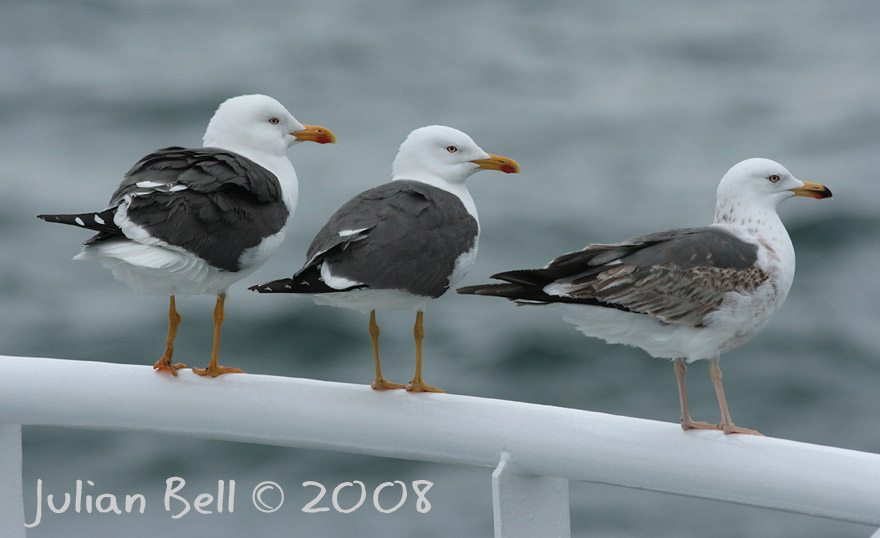 Lesser Black-backed Gulls