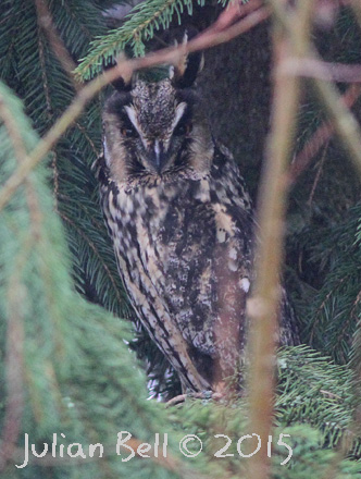 Long-eared Owl, near Oslo, March 2015