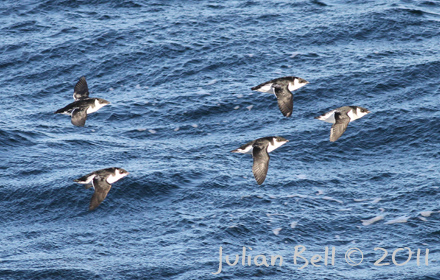 Migrating Little Auks