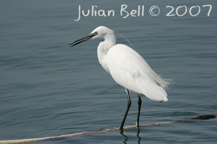 Little Egret, Playa Blanca