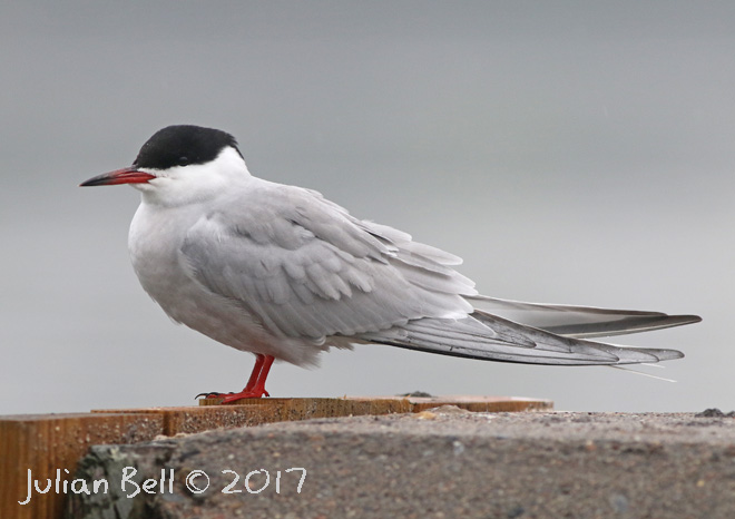 Common Tern, Gressholmen, Oslo, May 2017