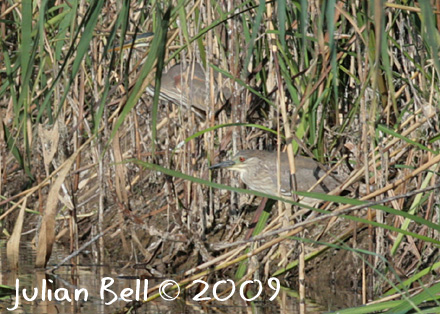 Juvenile Night Heron and Purple Heron