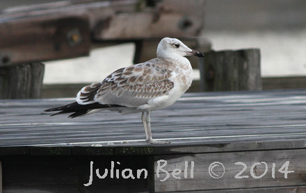 Pallas's Gull - first for Norway!