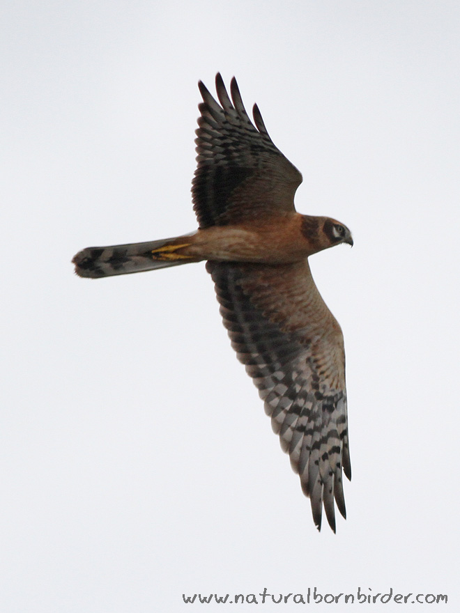 Pallid Harrier, Nautnes, Øygarden, September 2015