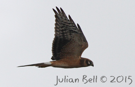 First year male Pallid Harrier