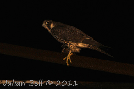 Nocturnal Peregrine