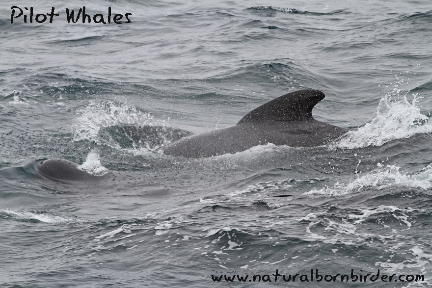 Pilot Whales, Aasta Hansteen, September 2015