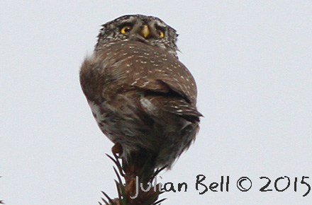 Pygmy Owl, near Oslo, Norway.. March 2015