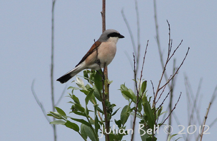Red-backed Shrike - one of the commonest birds in the area