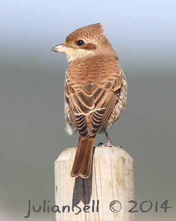 First year Red-backed Shrike