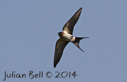 Asian race of Red-rumped Swallow, Vang Vieng, Laos, November 2014