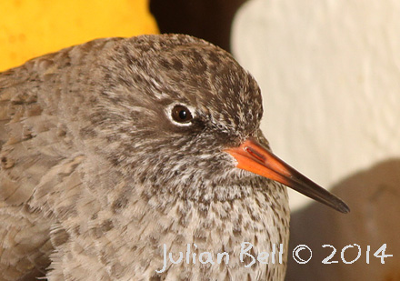 Common Redshank on the back deck of a survey vessel