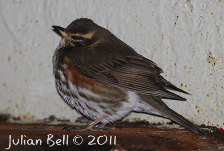 Redwing resting onboard an offshore vessel