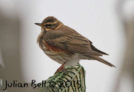 Migrant Redwing resting onboard