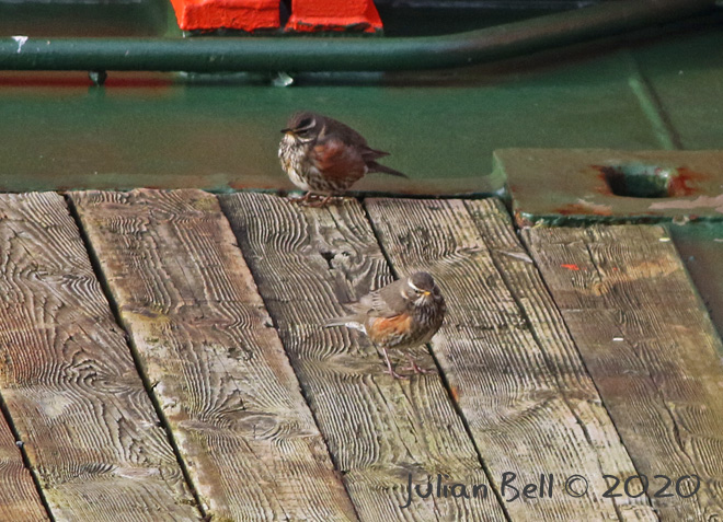 Migrating Redwings take a break on deck, April 2020