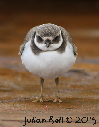 Ringed Plover, Aasta Hansteen, September 2015