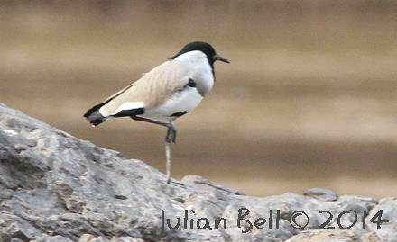River Lapwing, Mekong, November 2014